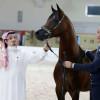 الخيول السعودية تسطع من جديد في دبي