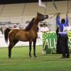 الأمير خالد بن سلطان يرعى بطولة جمال الخيل العربية