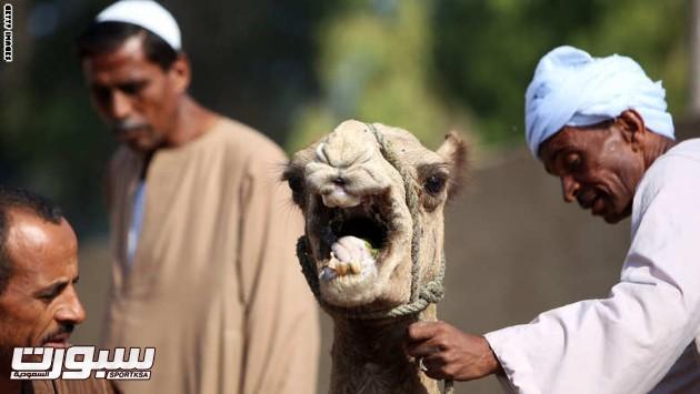 EGYPT-RELIGION-ISLAM-EID AL-ADHA-CAMEL